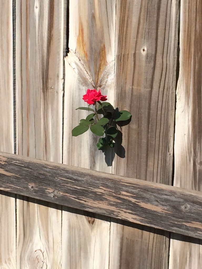 Rose In Fence Photo by Helen Teague
